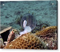 Birth Of Marine Cuttlefish Acrylic Print by Sergey Lukashin