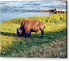 Acrylic Print featuring the photograph Bison 4 by Dawn Eshelman