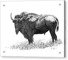 Bison Acrylic Print by Aaron Spong