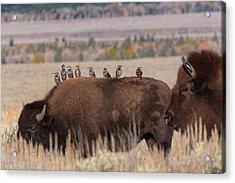 Bison And Buddies Acrylic Print
