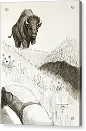 Bison Approach Acrylic Print