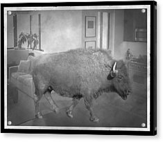 Bison At Home Acrylic Print by Flo Karp