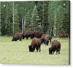 Bison At North Rim Acrylic Print by Laurel Powell