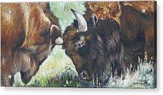 Bison Brawl Acrylic Print