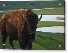 Bison Bull In Hayden Valley In Yellowstone National Park Acrylic Print