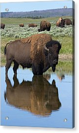 Bison Bull Reflecting Acrylic Print by Ken Archer