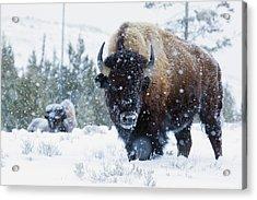 Bison Bulls, Winter Landscape Acrylic Print