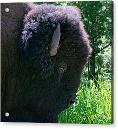 Bison Close Up Acrylic Print