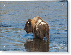 Bison Crossing River Acrylic Print