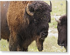 Bison From Yellowstone Acrylic Print by Belinda Greb