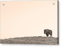 Bison Hill  Acrylic Print by James BO  Insogna