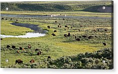 Bison In Hayden Valley In Yellowstone National Park Acrylic Print