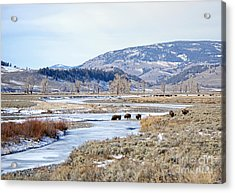 Bison In Lamar Valley Acrylic Print