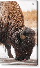 Bison In Snow_1 Acrylic Print