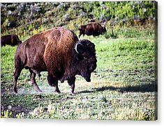 Bison In Yellowstone Acrylic Print by Sophie Vigneault