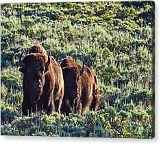 Bison Morning Acrylic Print