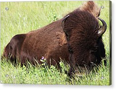 Bison Nap Acrylic Print by Alyce Taylor
