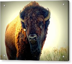 Bison On Antelope Island Acrylic Print by Heidi Manly