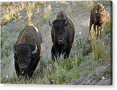 Bison On The Run Acrylic Print by Bruce Gourley