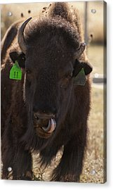 Bison One Horn Tongue In Nose Acrylic Print by Melany Sarafis