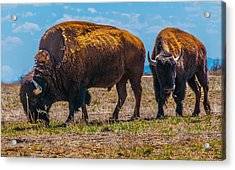 Bison Pair_1 Acrylic Print by Tom Potter