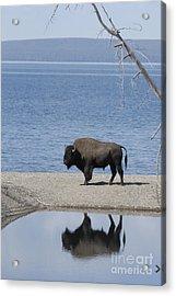 Bison Reflecting Acrylic Print by Bob Dowling