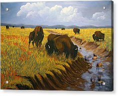 Bison Still Roam The Plains Acrylic Print
