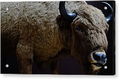 Bison Stuffed Acrylic Print