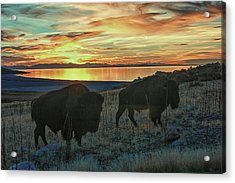 Bison Sunset Acrylic Print