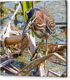 Acrylic Print featuring the photograph Green Heron Has A Frog In Its Throat by Phil Stone