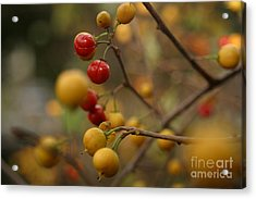 Acrylic Print featuring the photograph Bittersweet - Far by Kenny Glotfelty