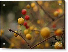Acrylic Print featuring the photograph Bittersweet - Near by Kenny Glotfelty