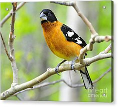 Blach-headed Grosbeak Acrylic Print