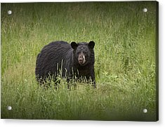 Black Adult Bear Outside Of Orr Minnesota Acrylic Print by Randall Nyhof