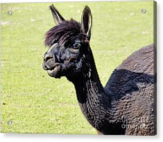 Black Alpaca Acrylic Print by Judy Via-Wolff