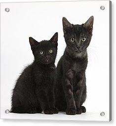 Black And Black Smoke Kittens Acrylic Print by Mark Taylor