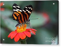 Black And Brown Butterfly On A Red Flower Acrylic Print