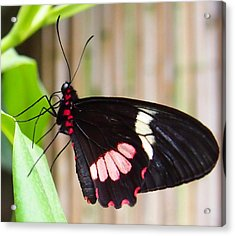 Acrylic Print featuring the photograph Black And Red Cattleheart Butterfly by Amy McDaniel