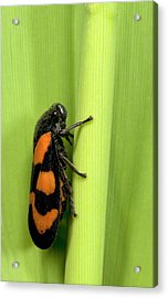 Black And Red Froghopper Acrylic Print by Nigel Downer