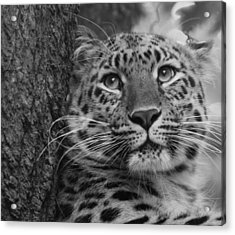 Black And White Amur Leopard Acrylic Print