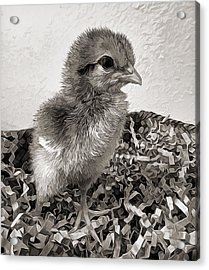 Black And White Baby Chicken Acrylic Print