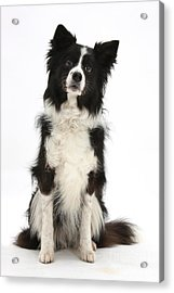 Black-and-white Border Collie Acrylic Print