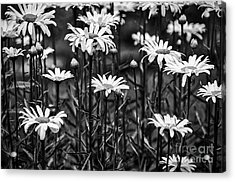 Black And White Daisies Acrylic Print by Mary Carol Story