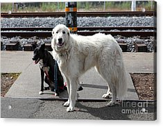 Black And White Dogs 5d25873 Acrylic Print by Wingsdomain Art and Photography