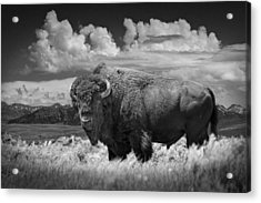 Black And White Photograph Of An American Buffalo Acrylic Print