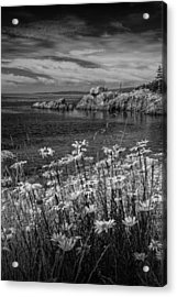 Black And White Photograph Of Daisies On Maine's Acadia Shoreline Acrylic Print by Randall Nyhof