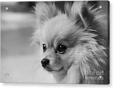 Black And White Portrait Of Pixie The Pomeranian Acrylic Print