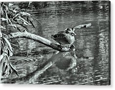 Black And White Presentation Of  Female Mallard Duck Sitting On A Log Near And Reflected In Water Acrylic Print by Leif Sohlman