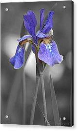 Black And White Purple Iris Acrylic Print