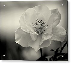 Black And White Rose Acrylic Print by Amee Cave